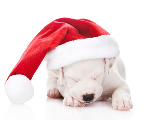 white puppy with santa hat. isolated on white background