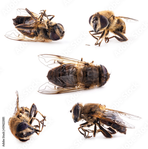 Collection of honey bee isolated on white