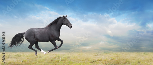 Foto op Canvas Paarden Black horse runs full gallop on field