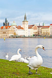 Swans in Prague against Old Town
