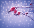 The plants Briar with berries in the frost. Winter floral backgr