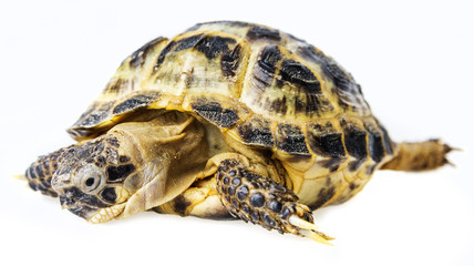 tortoise -  testudo horsfieldii isolated on a white background