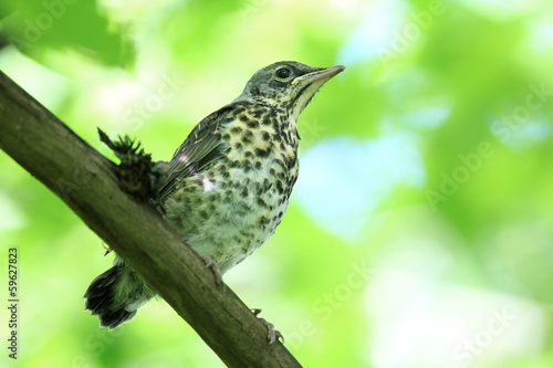 nestling blackbird on a branch