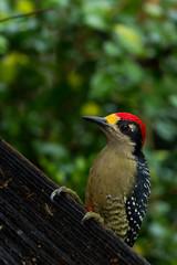 Black - cheeked Woodpecker