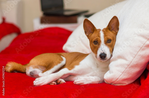 Cute basenji having rest on the sofa