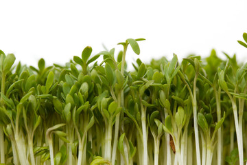 Close-up of fresh garden cress