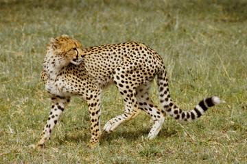 ghepardo acinonyx giubato parco nazionale masai mara kenia