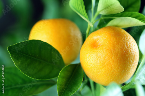 Fresh oranges © rookie72