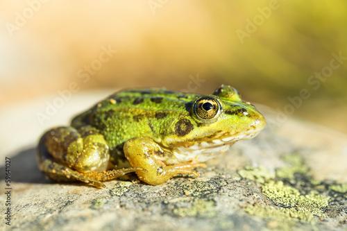 Common frog (Pelophylax perezi)