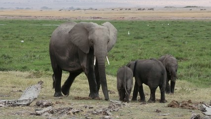 African elephant with calves, Amboseli National Park