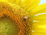 Fototapety close up of bee on sunflower