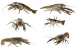 crayfish - Procambarus fallax collection