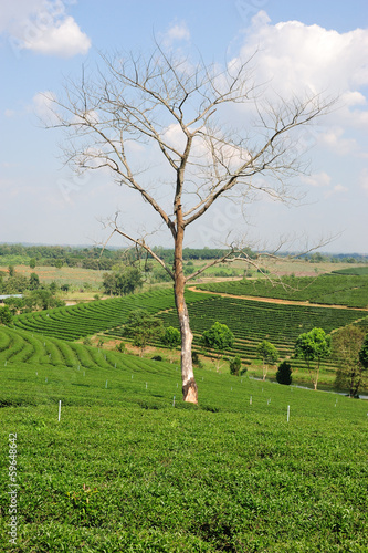 tree without leaves on a hill of tea plantation