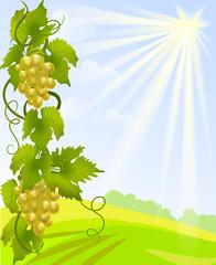 grapevine and rural landscape