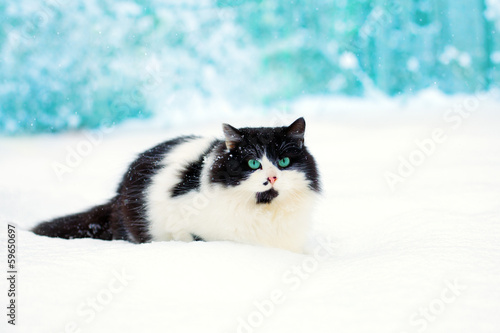 Black and white cat with green yes walking in the snow