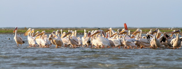 great pelicans colony