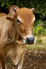 zanzibar africa front brown cow bite in   bush