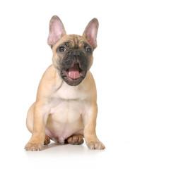 expressive puppy