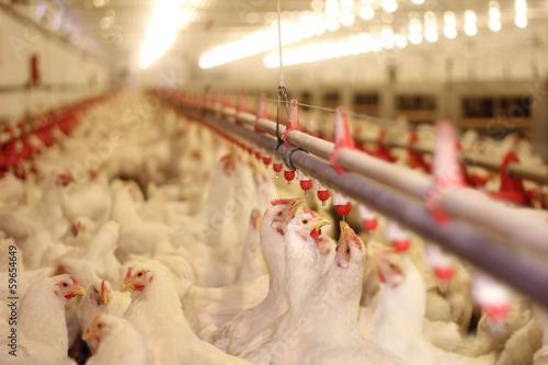 Foto op Canvas Kip Chicken Farm, Poultry