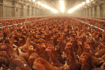 Chicken Farm, Poultry