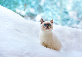 Blue point kitten sitting in the snow