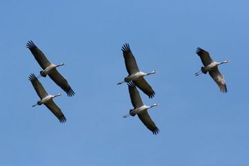 Common crane (Grus grus) in flight