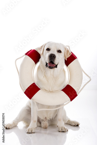 Labrador dog with a sailor buoy