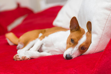 Tired basenji dog having rest on the sofa