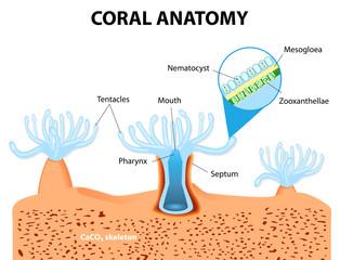 Coral Anatomy. Vector diagram
