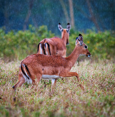 Wild  Impala antelopes during a rain, african savanna
