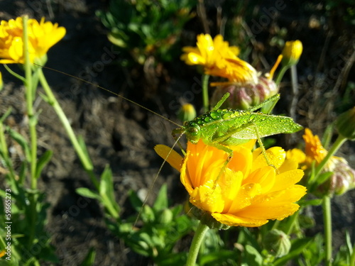 grasshopper on calendula