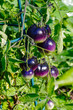 Purple heirloom tomatoes on the vine