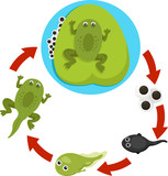 Illustrator of Life cycle of a frog