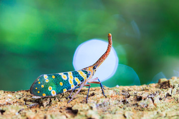 Lanternfly in FULGORID PLANTHOPPERS family