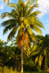 Coconut tree. Coconut Fruit on palm tree