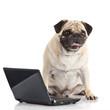 Pug Dog with laptop.