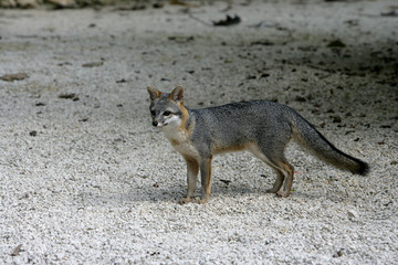 Gray fox, Urocyon cinereoargenteus
