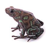 amphibian, animal, arrow, auratus, beautiful, close, colorful, c poster