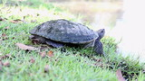 Turtle standing beside the lake in natural park