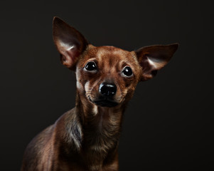 Portrait of a toy terrier