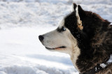 Profile portrait of a husky breed dog on snow