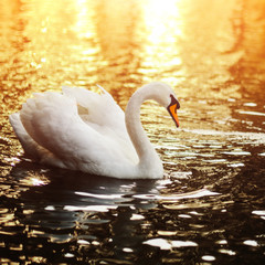 Swan swimming in the lake at sunset