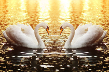 Swan couple swimming in the lake at sunset
