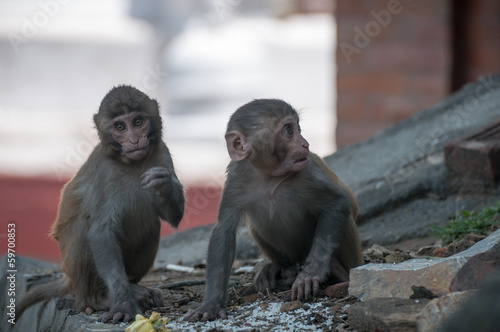 Pair young macaques Nepal temple having fun