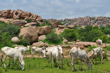 white cows in india