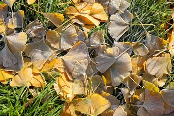 Fall frozen ginkgo leaves in closeup