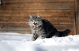 aggressive cat in the snow