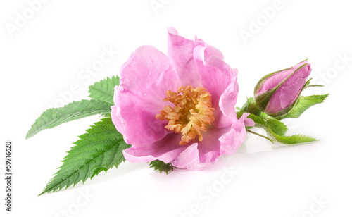 tea rose flower isolated on white background