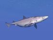 Shark underwater - 3D render