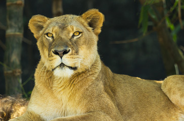 Female lion looking at camera
